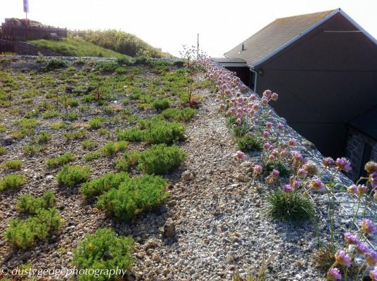 Coast green roof - Thrift