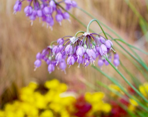 Alliums - nodding onions