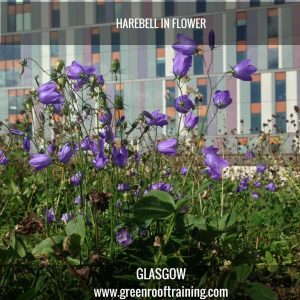 Harebell - green roof Glasgow