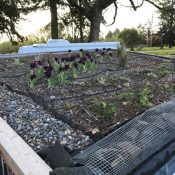 Shed green roof in WA –  an update